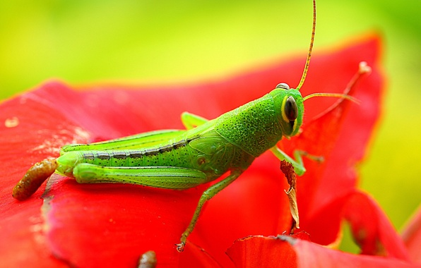 Picture green, red, exoskeleton, flower, nature, eyes, wings, animal, leaf, wildlife, insect, paws, hana, grasshopper, Konoha, …