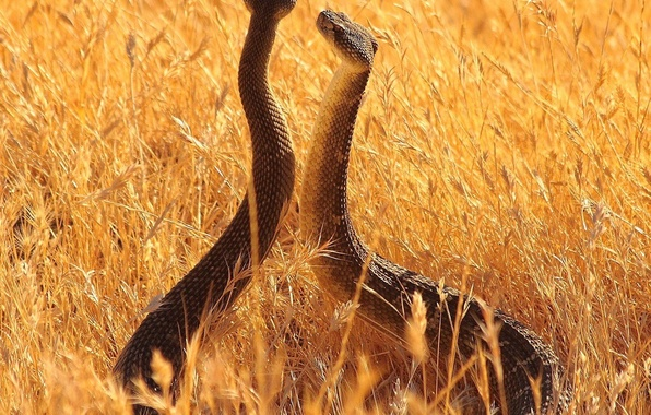Picture animals, snakes, summer, longhorn, the sky, grass, vista
