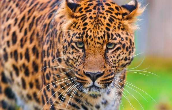 Picture face, Wallpaper, leopard, is, leopard, looks, beautiful, spotted, panthera pardus