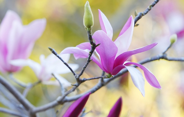 Picture nature, tree, branch, spring, petals, Magnolia