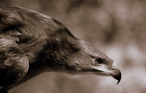 Photo wallpaper eagle, feathers, beak
