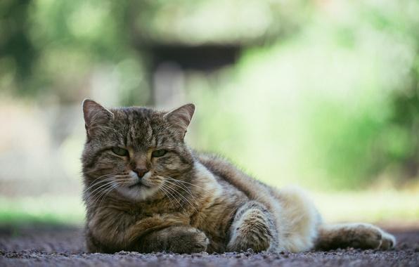 Picture eyes, cat, look, background, Koshak