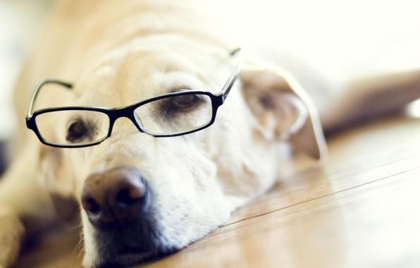 Picture face, glasses, Labrador Retriever