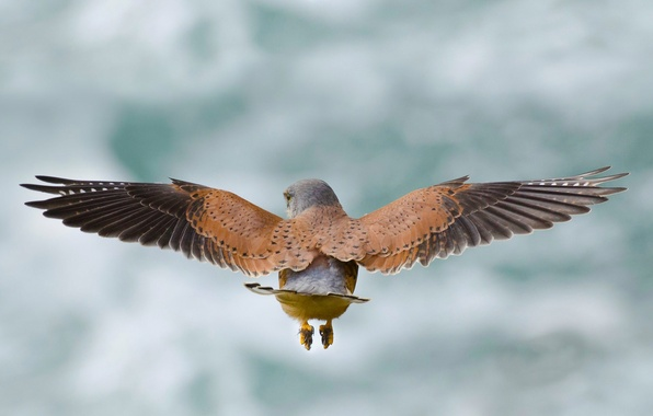 Picture flight, bird, wings, Kestrel