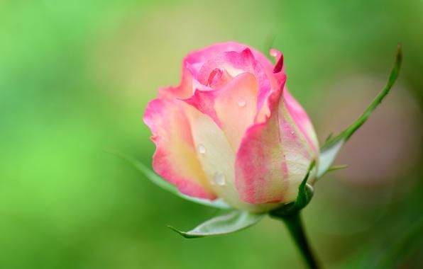 Picture drops, macro, Rosa, rose, petals, stem, Bud