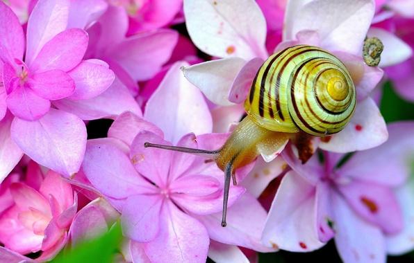 Picture macro, flowers, snail, horns, hydrangea