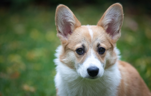 Picture look, face, background, dog, ears, Welsh Corgi