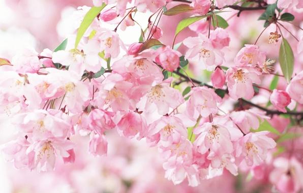 Picture branch, spring, petals, Sakura, pink, flowering