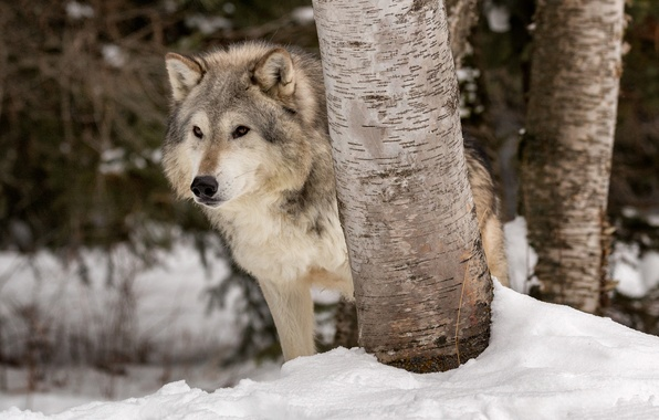 Picture winter, snow, trees, wolf, predator, the orderly forest, Tundra wolf