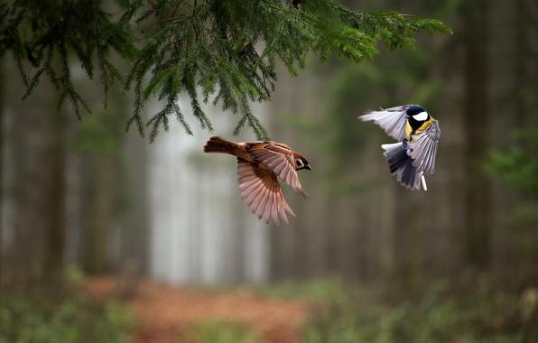 Picture forest, birds, spruce, branch, flight