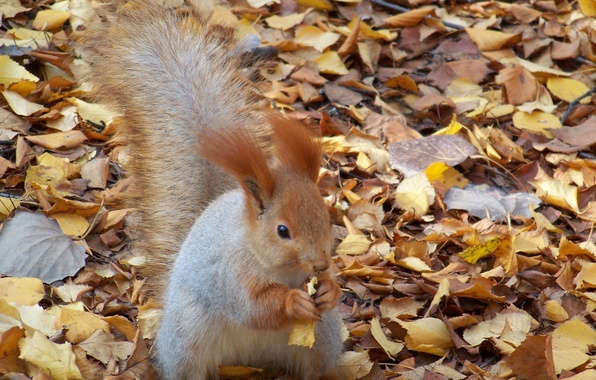 Picture autumn, leaves, walnut, protein, nibbles