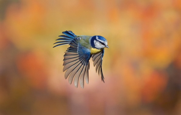 Picture background, bird, flight, razmytost, tit