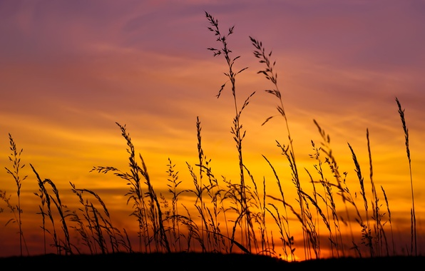 Picture field, the sky, grass, the sun, sunset, yellow, lilac