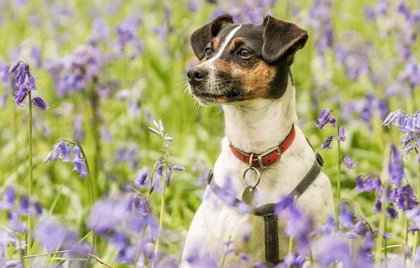 Picture flowers, portrait, dog, meadow, collar, bells