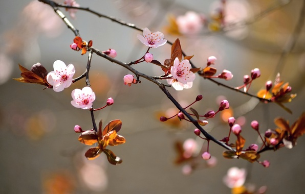 Picture leaves, macro, flowers, branches, nature, tree, spring, Sakura, flowering