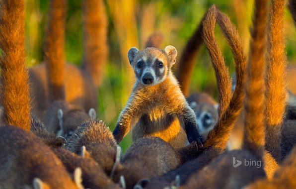 Picture Mexico, mammal, coati, the coati, the island of Cozumel