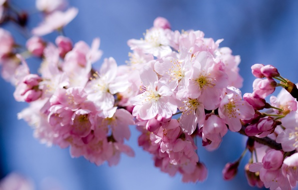 Picture the sky, flowers, cherry, pink, spring, petals, Sakura, flowering
