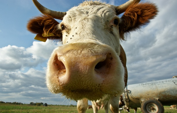 Picture face, cow, horns