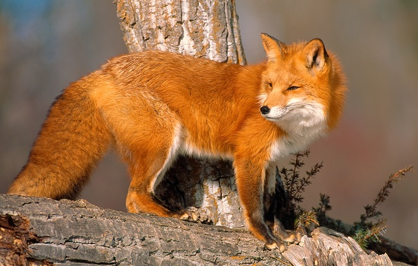 Picture look, tree, Fox, snag, sunlight