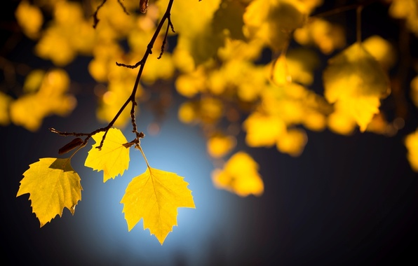 Picture leaves, macro, trees, background, tree, Wallpaper, yellow leaves, blur, branch, beautiful, wallpaper, leaves, widescreen, leaves, …