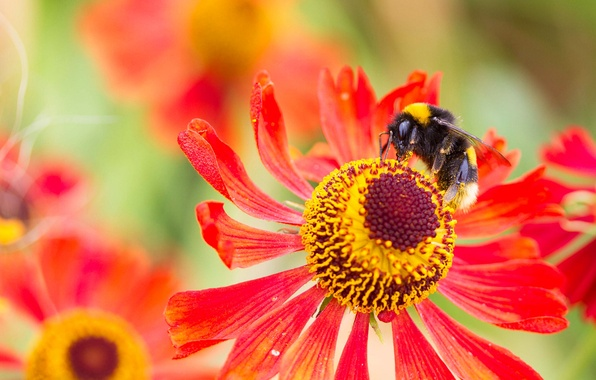 Picture flower, nature, petals, insect, bumblebee
