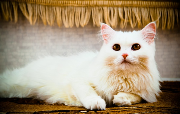 Picture cat, white, eyes, cat, look, cats, lies