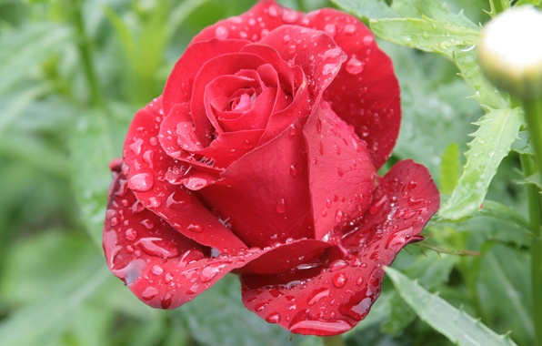 Picture flower, drops, flowers, nature, Rosa, rose, morning, red