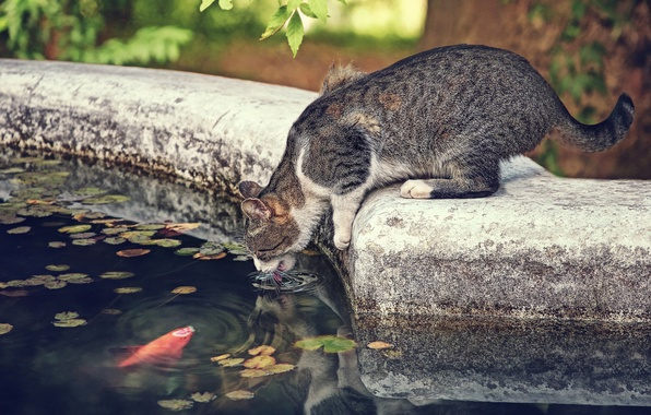 Picture cat, cat, thirst, the situation, fish