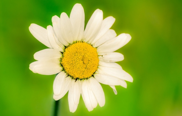Picture white, flower, flowers, green, background, widescreen, Wallpaper, blur, Daisy, wallpaper, flowers, flower, widescreen, background, full …