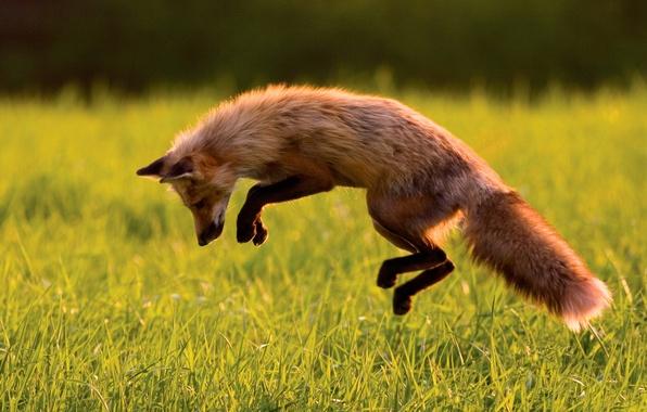 Picture jump, Fox, hunting, Fox