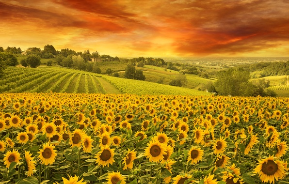 Picture The sky, Nature, Field, Sunflowers, Landscape