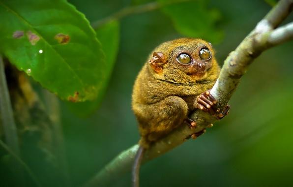 Picture eyes, branch, the primacy of, tarsier, tarsier
