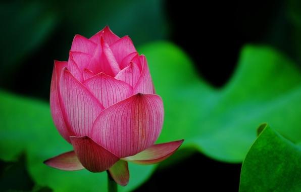 Picture greens, flower, macro, pink, petals, Bud, Lotus