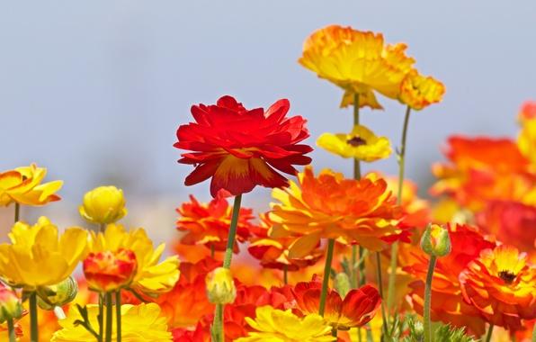 Picture buds, buttercups, Ranunculus