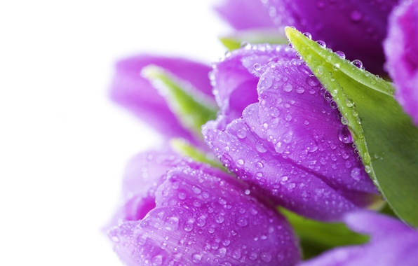 Picture leaves, drops, flowers, Rosa, bright, beauty, bouquet, petals, purple, tulips, water, flowers, lilac, beauty, drops, …