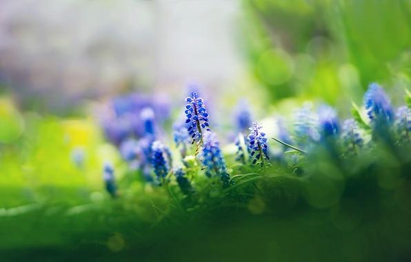 Picture grass, flowers, focus, blue, Muscari