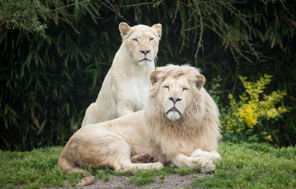 Picture grass, cats, Leo, pair, lioness, white lions
