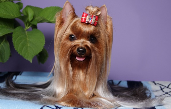 Picture animals, look, photo, dog, Yorkshire Terrier