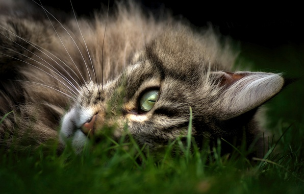 Picture cat, grass, look, face, Cat, lies