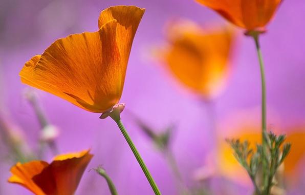 Picture flowers, background, pink, orange, Estella, California