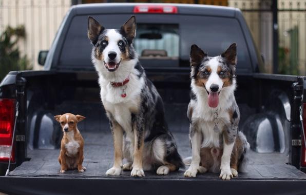 Picture machine, dogs, trio, body, pickup, Chihuahua, the border collie, Trinity