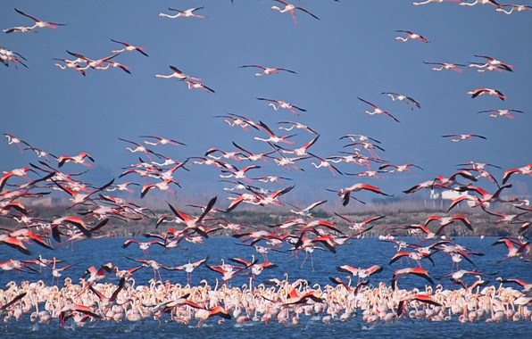 Picture the sky, birds, lake, pack, Flamingo