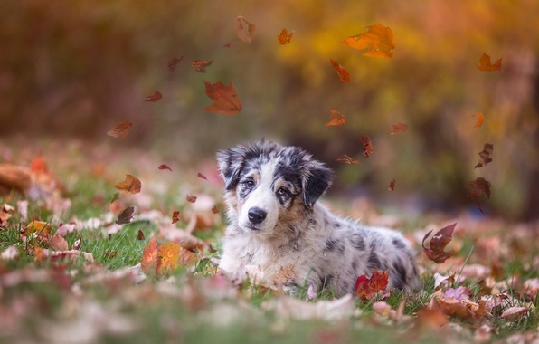 Picture autumn, leaves, dog, puppy, Australian shepherd, Aussie