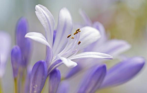 Picture macro, petals, Bud, stamens