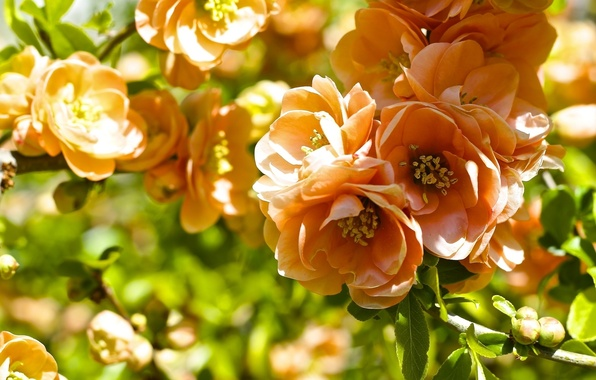 Picture macro, branch, flowering, quince