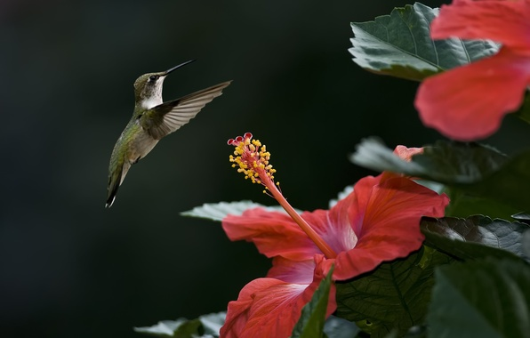 Picture flower, bird, focus, Hummingbird, hibiscus