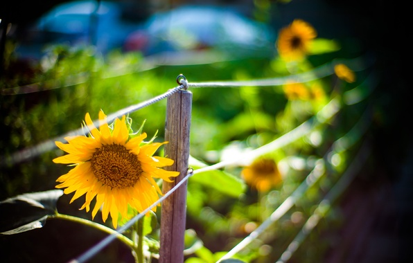 Picture flower, macro, yellow, nature, the fence, sunflower, fence