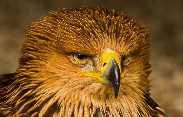 Picture look, bird, portrait, predator, Eagle