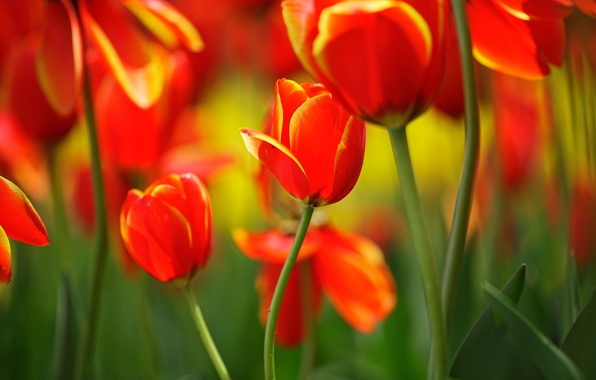 Picture leaves, macro, flowers, stems, bright, spring, tulips, red, buds