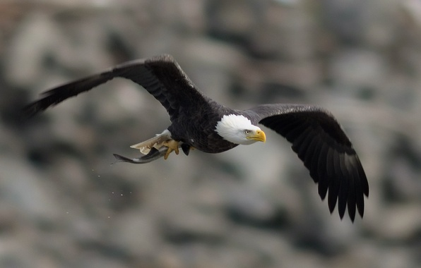 Picture flight, wings, Bird, bird, stroke, bald eagle, bald eagle